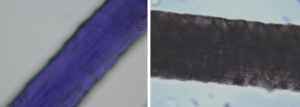 (left) Dark blue warp fiber, magnified at 200x. (right) Fiber sampled from a pink weft, also magnified at 200x. The scales suggest that the fibers are both wool.