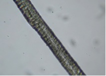 A beige weft sampled from the proper right sleeve, magnified at 50x, also wool.