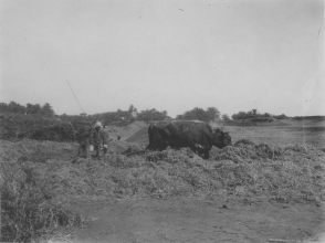 "Image KS175_12: April 28, 1920; George R. Swain; ""Another threshing scene -- beans, bullocks and a drag."""