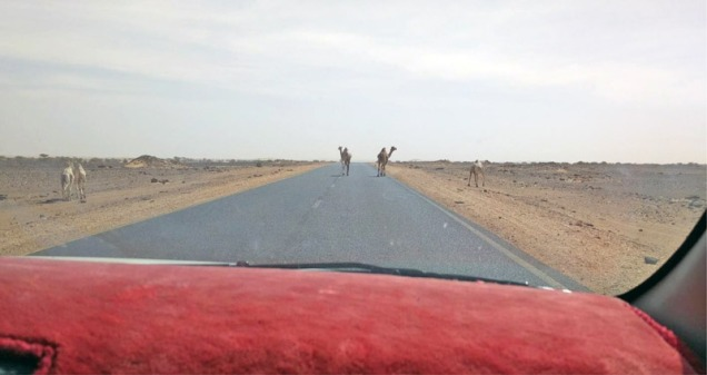 Camels on a road