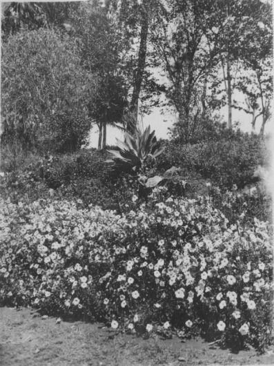 Cairo, Egypt. Close-up view of a flower bed and shrubbery beyond. Gezireh island. KS160.11.
