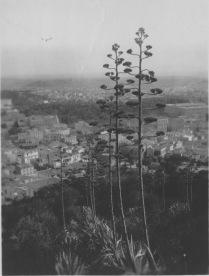 Athens, Greece. Flower stalks of the century plants up on Lycabettus. KS212.06.
